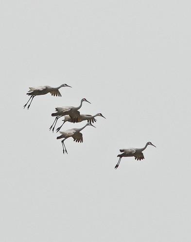 Sandhill Cranes along Cameron Lake Road in Okanogan County