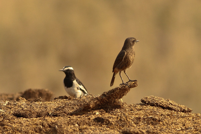 Pied Wagtail and Stonechat