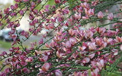 Scotch Broom 2011 2