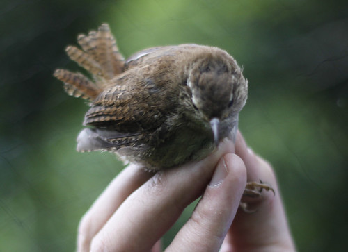 The wren released