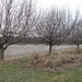 apple trees March11