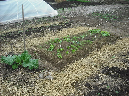 rhubarb and covered row - april 24