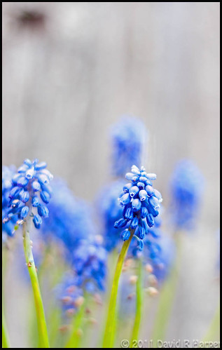 Day 120 of 365 … Flowers of Blue by Echo9er