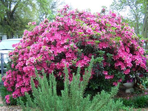 right azalea by Becca(at BrightHaven)
