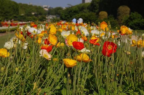 Poppies at Jardin des Plantes