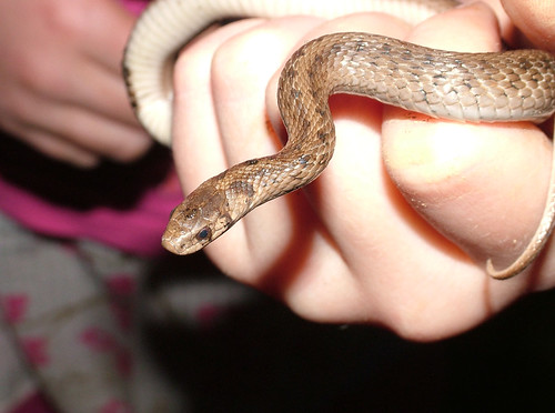 Brown Snake by chiral_c/Catherine Stevens