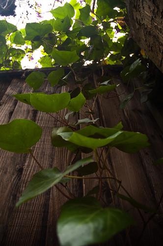 climbing_ivy