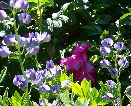 gardencroses