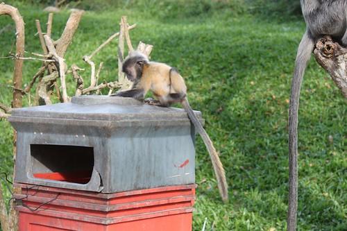 201102180824_silver-leaf-monkey-baby