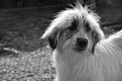 Rescued dog in Cernavodă, Romania (Save the Do...