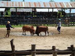 Bull-fight, Thai style