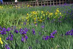 泉の森―ショウブ田(Iris, Izuminomori park, Yamato, Kanagawa, Japan)