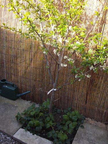 April.11 plum tree