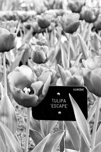 Tulipanes X-ray