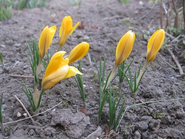 Narcissus / Jonquille