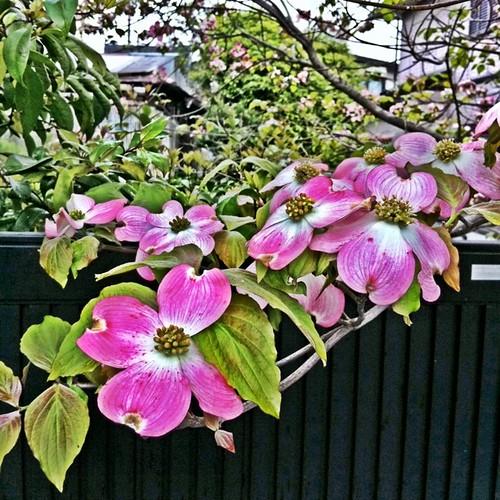ハナミズキかな? #flower