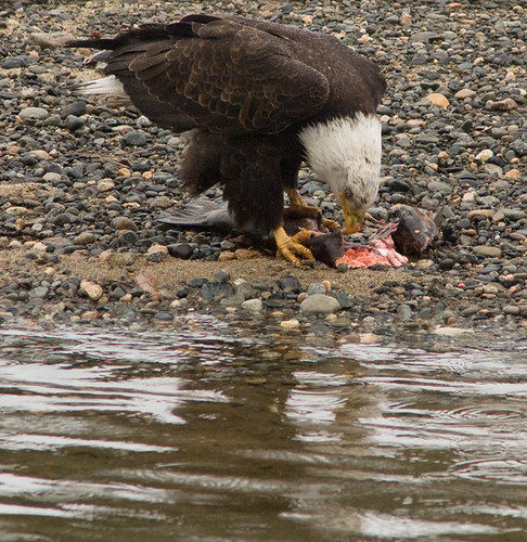 Bald Eagle eating a hatchery Steelhead along the Methow River
