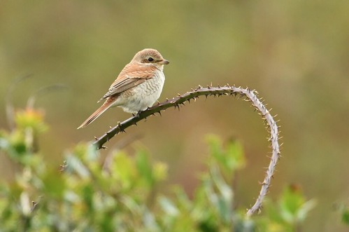 "Red-backed Shrike, Porthgwarra, 18.09.16 (S.Rogers) • <a style=""font-size:0.8em;"" href=""http://www.flickr.com/photos/30837261@N07/29832963490/"" target=""_blank"">View on Flickr</a>"