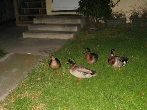 venice ducks (112/365)