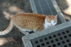 江の島めぐり―サムエル・コッキング苑の猫(Cat, Enoshima, 2011)