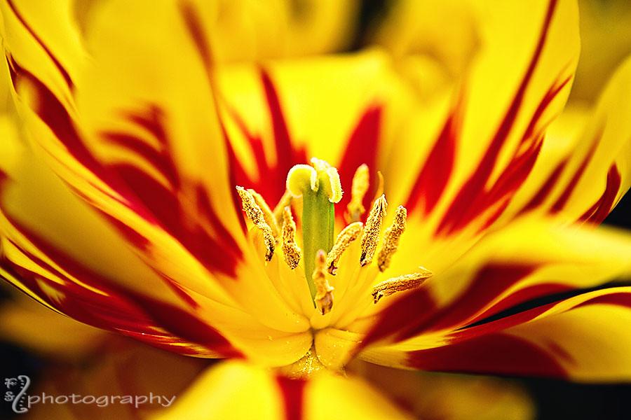 Anatomy of a tulip (3)
