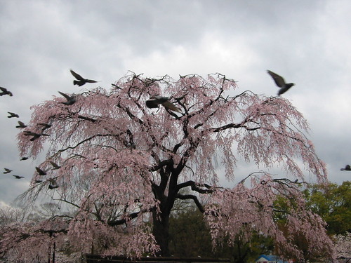 the famous weeping cherry tree