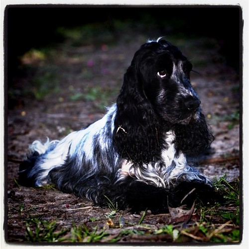 Another of Gillian's cocker spaniels.
