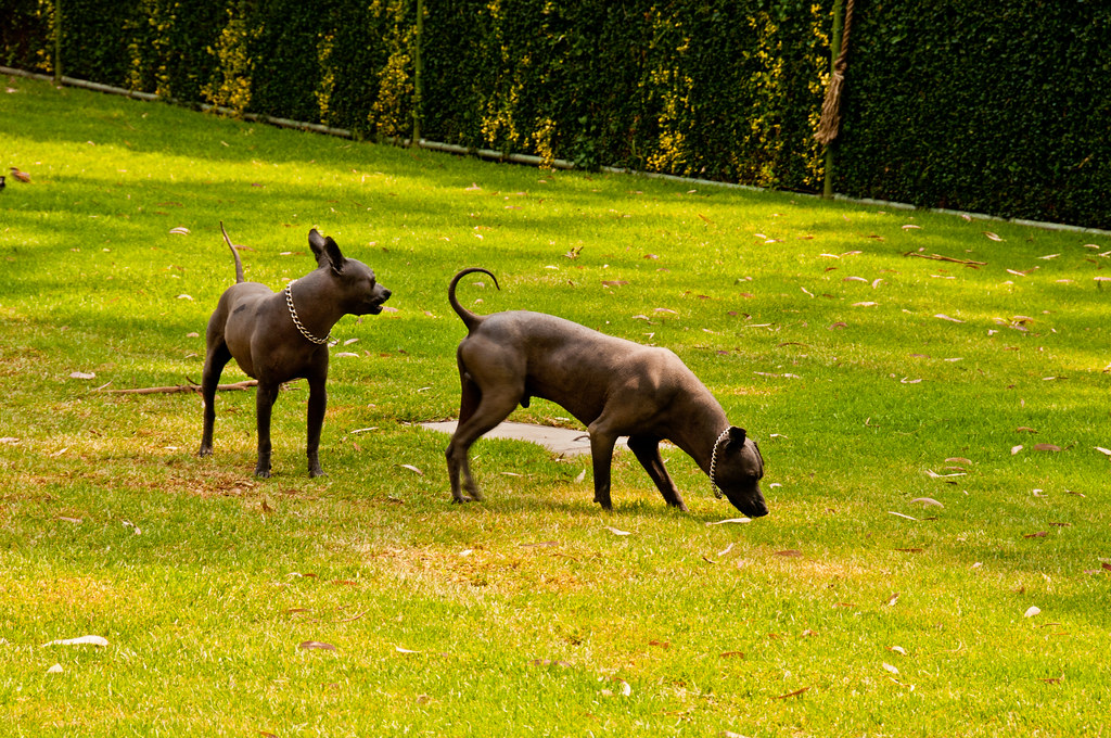 Hairless dogs at the Museo Dolores Olmedo Patino