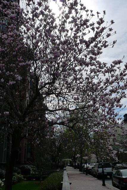 Boston - Back Bay Tree Blossom