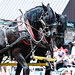 Two Large Black Horses in Parade