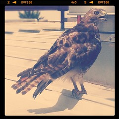Hawk???
