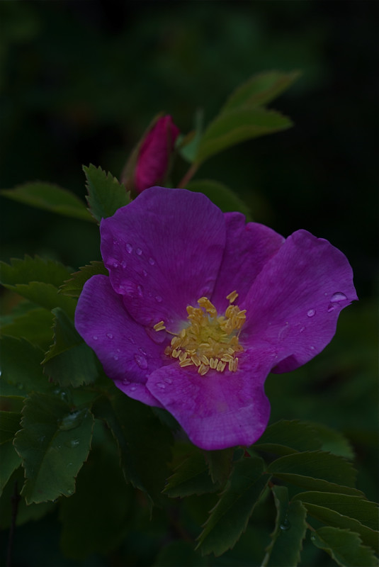 Prickly Rose