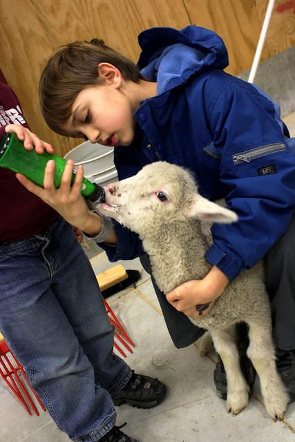 lambs - 3