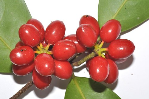 Polyalthia nitidissima (Canary Beech)
