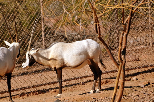 unicorn (oryx)
