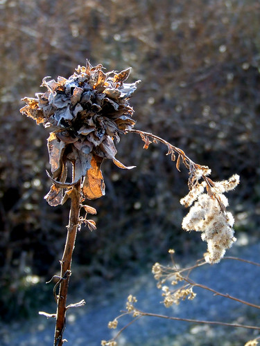 goldenrod bunch gall 2