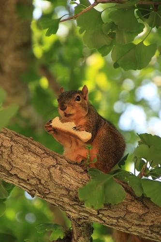 IA - Council Bluffs squirrel in park 4
