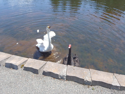 Black & White Swan couple in New Brunswick, Canada
