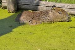Capybaras im Gaia Park Kerkrade im Juli 2010