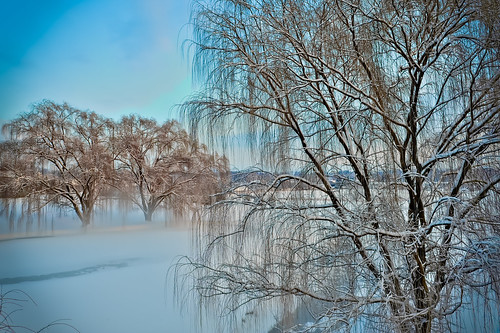 Willows in the Mist