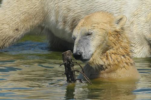 Eisbärin Wash im Dierenrijk in Nuenen