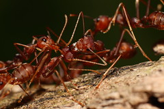 Fire Ants Gathering...