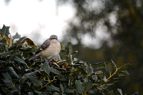 Big Mockingbird