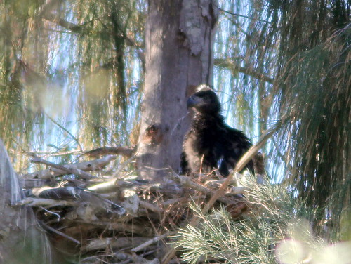 Older eagle chick 20110215
