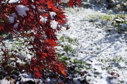 acer rosso prima neve _7004094 come oggetto avanzato-1