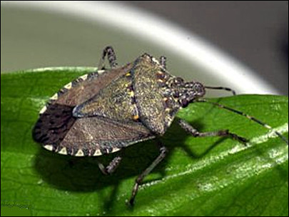 2011-03-24_Asian brown stink bug (405x304)