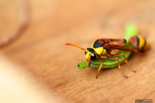 Hornet with a Caterpillar - Cambodia