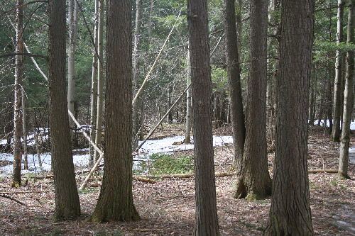 Eastern Hemlock trunks with holes