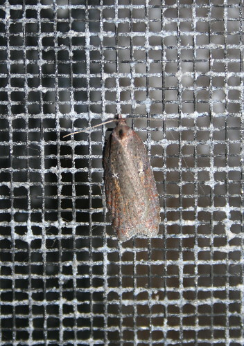 First micro of spring! - Acleris sp.