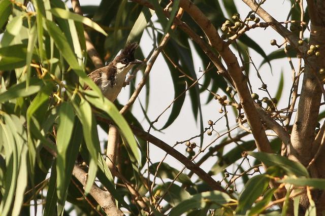 Red Whiskered Bulbul(juvenile)